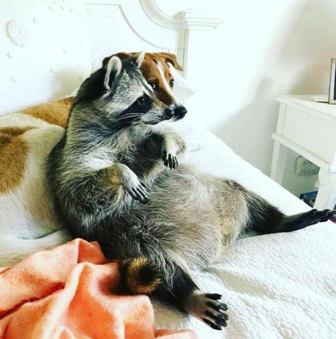 adorable-cute-raccoons-102-59563fcbaedb5__700_tumb_660.jpg
