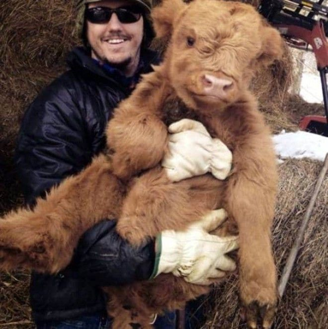 A Cuddly Scottish Cow