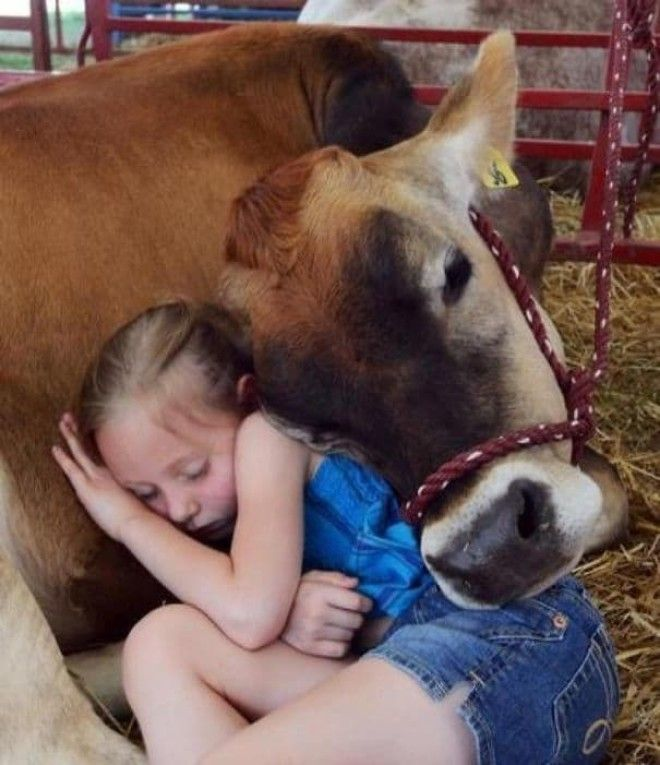 Cows Are Very Affectionate