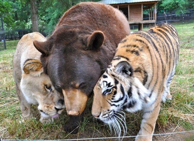 medved-i-tigry_tumb_660.jpg
