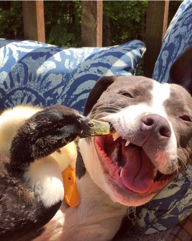 pitbull-terrier-chat-famille-boggs-2_tumb_660.jpg