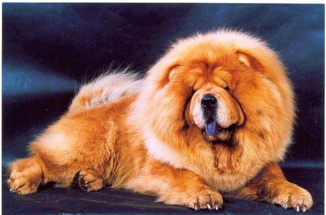 Топ10 самых дорогих собак в мире