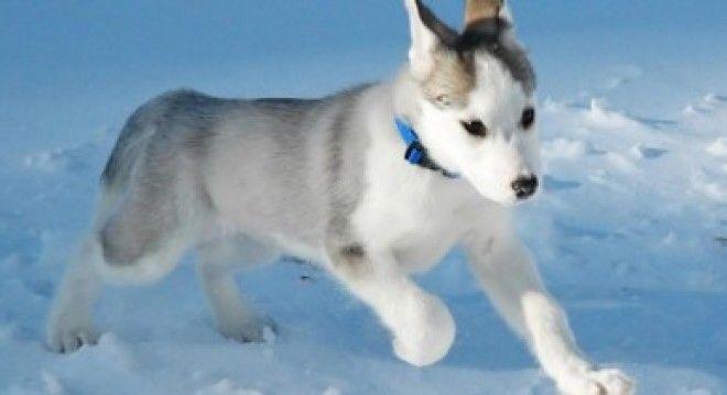 Топ10 самых дорогих собак в мире фото