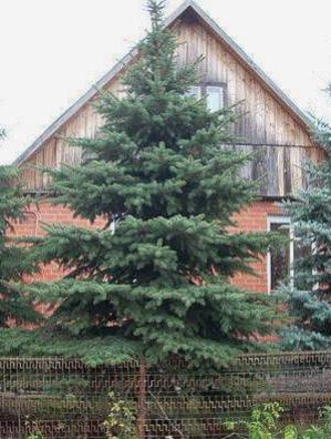 Можно ли сажать елку возле дома приметы 60